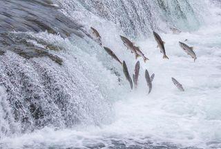 Bigstock-Salmon-Jumping-Up-The-Brooks-F-54555656